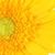 yellow gerbera stock photo © petrmalyshev