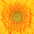 yellow gerbera flower stock photo © petrmalyshev