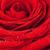 donkere · Rood · rose · macro · water - stockfoto © petrmalyshev