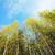 birch forest stock photo © petrmalyshev