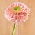 розовый · Daisy · макроса · капли · воды · лепестков · Extreme - Сток-фото © petrmalyshev