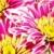 witte · daisy · bloem · prins · Rood · Geel - stockfoto © petrmalyshev