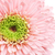 pink gerbera daisy stock photo © petrmalyshev