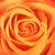 narancs · rózsa · rügy · közelkép · gyönyörű · természet - stock fotó © petrmalyshev