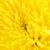 krizantém · virág · fehér · citromsárga · virág · dekoratív - stock fotó © petrmalyshev