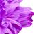 violeta · crisantemo · flor · superior · vista · aislado - foto stock © petrmalyshev