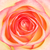 rosa · jardim · macro · tiro · água · primavera - foto stock © petrmalyshev