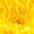 yellow chrysanthemum flower petals stock photo © petrmalyshev