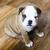 Engels · bulldog · puppy · ondiep · veld · vergadering - stockfoto © Phantom1311