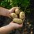 ジャガイモ · 手 · 男 · 地球 · 食品 - ストックフォト © Phantom1311