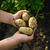 potato in the hands of man stock photo © Phantom1311