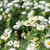 daisy flowers with shallow depth of field stock photo © Phantom1311