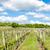 vineyard near hnanice southern moravia czech republic stock photo © phbcz