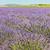 champ · de · lavande · plateau · France · fleur · nature · agriculture - photo stock © phbcz