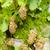 branco · uvas · vinha · República · Checa · folha · outono - foto stock © phbcz