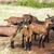 nyáj · kecskék · Franciaország · Európa · mezőgazdaság · legelő - stock fotó © phbcz