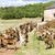 nyáj · kecskék · Franciaország · vidék · mezőgazdaság · legelő - stock fotó © phbcz