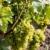 grapevines in vineyard czech republic stock photo © phbcz