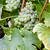 branco · uva · região · França · folha · uvas - foto stock © phbcz