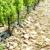 vineyards near Chateauneuf-du-Pape, Provence, France stock photo © phbcz