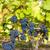 blue grapes in vineyard southern moravia czech republic stock photo © phbcz