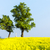 trees and cross with rape field czech republic stock photo © phbcz