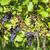 青 · ブドウ · 畑 · オーストリア · 葉 - ストックフォト © phbcz
