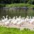 гусь · фермы · Чешская · республика · птица · группа · Европа - Сток-фото © phbcz