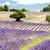 ラベンダー畑 · ツリー · 高原 · 自然 · 工場 · 農業 - ストックフォト © phbcz