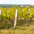 autumnal vineyard near hnanice southern moravia czech republic stock photo © phbcz