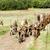 herd of goats on pasturage aveyron midi pyrenees france stock photo © phbcz