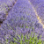 lavendel · veld · plateau · Frankrijk · bloem · natuur · achtergrond - stockfoto © phbcz