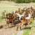 herd of goats on pasturage aveyron midi pyrenees france stock photo © phbcz