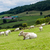 herd of cows rhone alpes france stock photo © phbcz