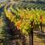 view of autumnal vineyards near jetzelsdorf lower austria aust stock photo © phbcz