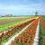 szélmalom · tulipán · mező · Hollandia · virágok · utazás - stock fotó © phbcz