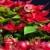 natal · tradições · vermelho · árvore · de · natal · bugiganga · luzes - foto stock © phbcz