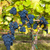 blue grapes in vineyard southern moravia czech republic stock photo © phbcz