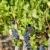blue grape in bordeaux region aquitaine france stock photo © phbcz