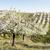 virágzó · gyümölcsös · tavasz · Csehország · fa · természet - stock fotó © phbcz