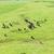 vacche · Inghilterra · animali · nero · volare · bianco - foto d'archivio © phbcz
