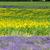 подсолнечника · лаванды · цветы · области · природы - Сток-фото © phbcz