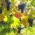 grapevines in vineyard frankovka czech republic stock photo © phbcz