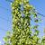 hops in hops garden czech republic stock photo © phbcz