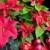christmas still life with poinsettia stock photo © phbcz