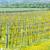 spring vineyard southern moravia czech republic stock photo © phbcz