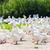 ganso · fazenda · República · Checa · pássaro · grupo · europa - foto stock © phbcz