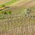 spring vineyards southern moravia czech republic stock photo © phbcz