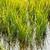 rijstveld · Italië · natuur · achtergrond · plant · rijst - stockfoto © phbcz