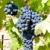 niebieski · winogron · la · Hiszpania · liści · jesienią - zdjęcia stock © phbcz
